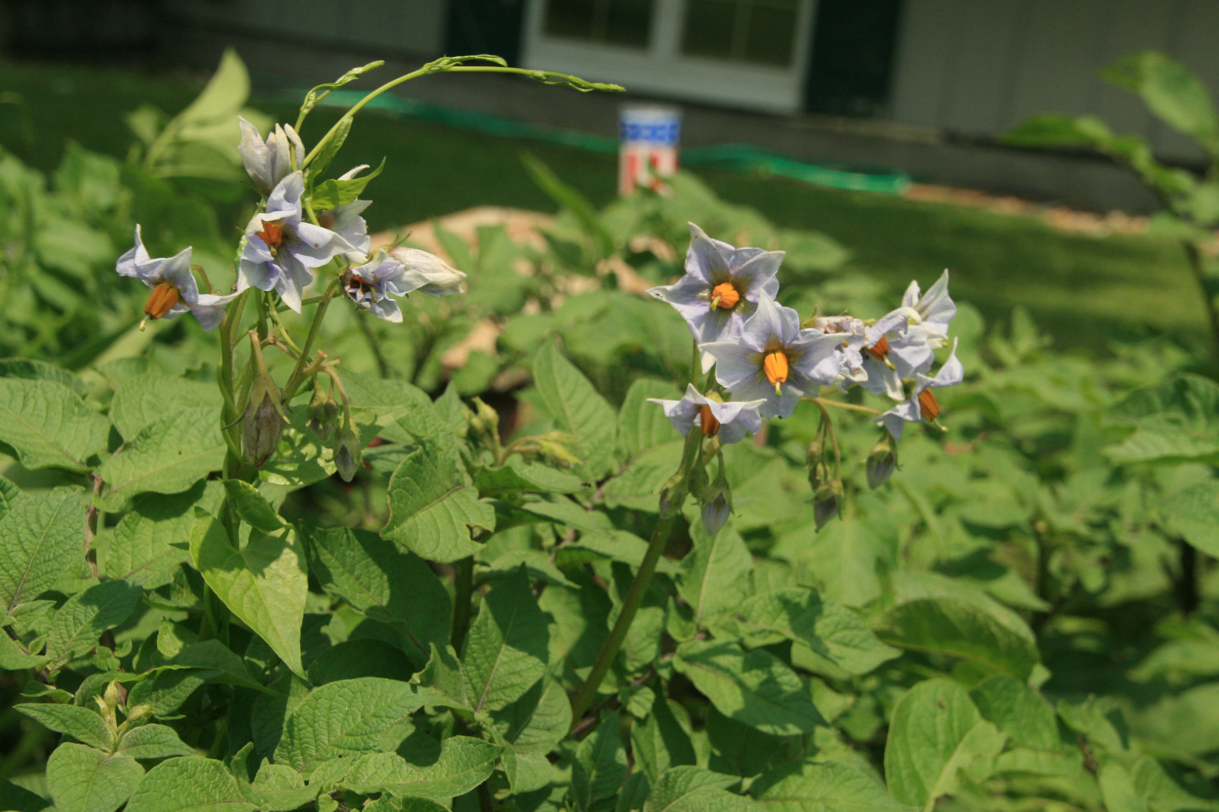 Flowering potato